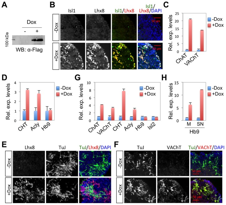 Isl1-Lhx8 induces a cholinergic fate in ESC-derived neurons. ( A, B ) In Isl1-Lhx8-ESCs, the expression of Flag-tagged Isl1-Lhx8 was induced by Dox, as detected by western blotting assays with α-Flag antibodies (A) and immunohistochemistry assays with α-Isl1 and α-Lhx8 antibodies (B). ( C, D ) Quantitative RT-PCR analyses in Isl1-Lhx8-ESCs when cultured as a monolayer. Cholinergic genes, but not the MN gene Hb9, were induced by Isl1-Lhx8. ( E–G ) Cell differentiation analyses in floating EBs derived from Isl1-Lhx8-ESCs, cultured with or without Dox, which triggers expression of Isl1-Lhx8. Immunohistochemical analyses show that Isl-Lhx8 expression induces differentiation of VAChT + TuJ + c holinergic neurons (E, F). Quantitative RT-PCR analyses show that cholinergic pathway genes, but not MN genes Hb9 and Isl2, were induced by Isl1-Lhx8 (G). ( H ) Quantitative RT-PCR analyses of Hb9 expression in Isl1-Lhx3-ESCs. Hb9 was induced by Dox treatment, which induces the expression of Isl1-Lhx3 in Isl1-Lhx3-ESCs, when cultured in either monolayer (M) or spinal neuronal differentiation (SN) conditions. Error bars represent the standard deviation in all graphs (C, D, G, H).