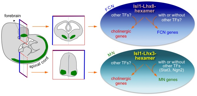 Isl1-Lhx8-hexamer and Isl1-Lhx3-hexamer complexes establish a cholinergic neuronal identity in FCNs and spinal MNs, respectively, by directly upregulating cholinergic gene battery. During CNS development, the cholinergic genes recruit the Isl1-Lhx8-hexamer in the forebrain and the Isl1-Lhx3-hexamer in spinal cord via hexamer-response elements. This recruitment leads to concerted induction of the cholinergic genes, therefore enabling MNs and FCNs to acquire the cholinergic neuronal identity. The Isl1-Lhx8-hexamer and Isl1-Lhx3-hexamer likely induce unique sets of target genes in FCNs and MNs. These hexamers may cooperate with other transcription factors (TFs) in establishing cell type-specific gene expression patterns.