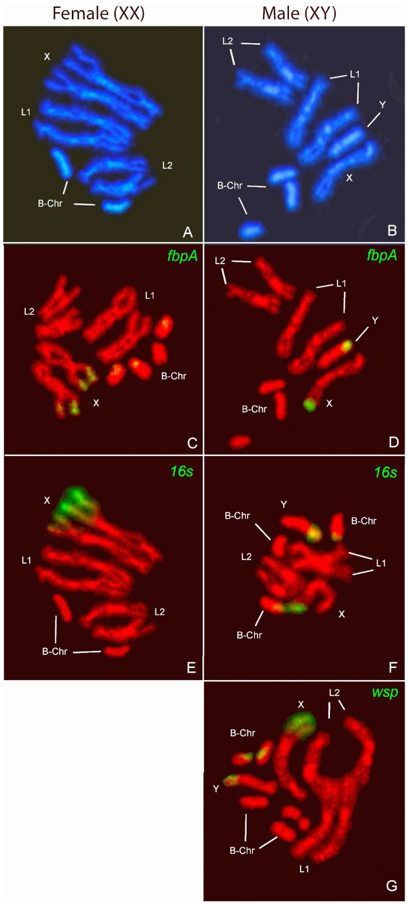 Fluorescent in situ hybridisation (FISH) on Gmm mitotic chromosomes. The chromosomes are numbered as described by Willhoeft (1997) [70] . A–B. Banding pattern of (DAPI)-stained chromosome spreads (A–B). The DAPI positive regions indicate the heterochromatic patterns. B-chromosomes vary in number. FISH on female and male chromosomes with fbpA probe (C–D), 16S rDNA probe (E–F), and wsp probe on chromosomes from a male individual (G).