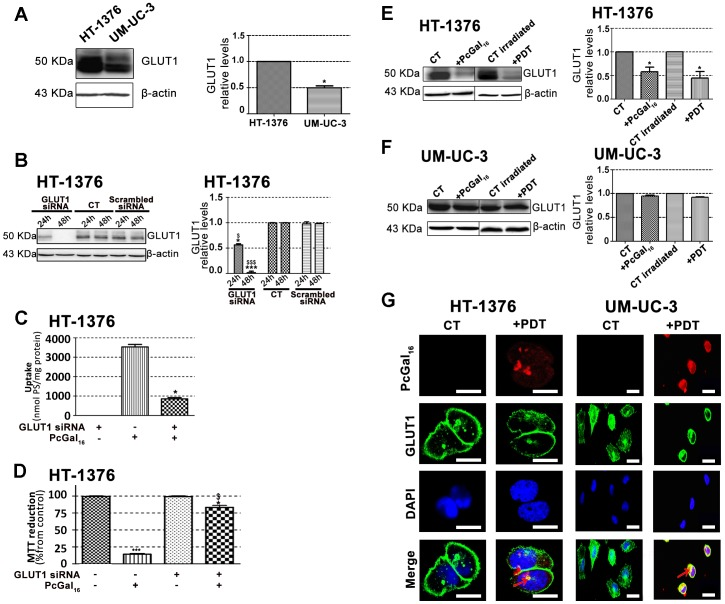 Knockdown of GLUT1 decreases de uptake and phototoxicity of PcGal 16 . Western blotting analysis and quantification of GLUT1 protein levels in HT-1376 and UM-UC-3 cells (panel A), in HT-1376 cells (panel E) or UM-UC-3 cells (panel F) after uptake with PcGal 16 in darkness and after PDT. β-actin was blotted as loading control. Quantitative analysis of GLUT1 (normalized to β-actin) expressed as a ratio of the levels found in HT-1376 cells (panel A). *(p