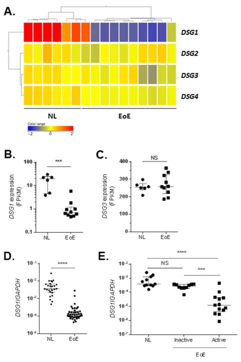 Specific reduction in desmoglein-1 (DSG1) gene expression in EoE Heatmap depicting expression levels of desmogleins 1–4 ( DSG1–4 ) (A) and individual FPKM values for DSG1 and DSG3 (B-C) from RNA sequencing of esophageal biopsies from 10 patients with active EoE versus 6 healthy controls (NL). Quantitative PCR (qPCR) analysis of DSG1 expression in esophageal biopsies from NL (n = 25) and patients with active EoE (n = 39) (D). qPCR analysis of DSG1 expression in esophageal biopsies from NL (n = 11) and patients with inactive (n = 10) or active (n = 13) EoE (E). Data are represented as the median + interquartile range: NS (not significant), *** p