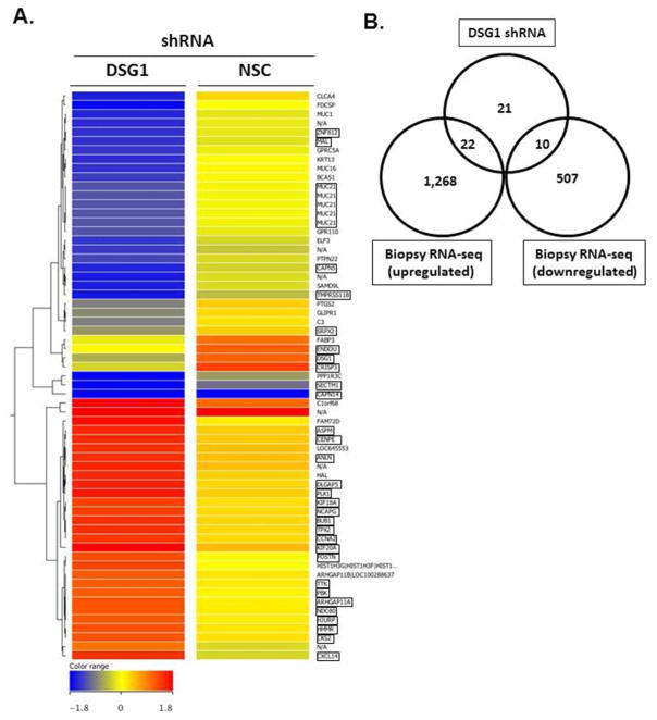 Loss of DSG1 promotes epithelial pro-inflammatory transcriptional responses Heatmap of 63 transcripts with differential expression ( p