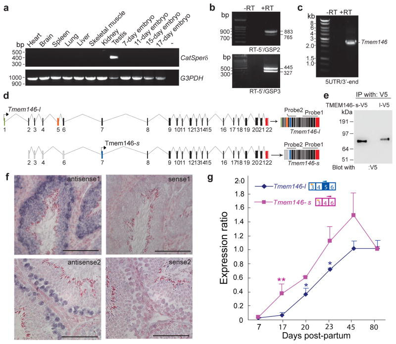 """Molecular cloning of two alternative splice variants of CatSperδ ( a ) Tissue distribution of CatSperδ mRNA by reverse-transcription PCR. CatSperδ ( upper ) and Glyceraldehyde-3-Phosphate Dehydrogenase (control; lower ) from 12 mouse cDNAs; negative control ( lane """"−"""" ). CatSperδ was detected only in testis. ( b and c ) Molecular cloning of CatSperδ cDNAs. Two bands differing by 118 bp were amplified by mouse testis first-strand cDNAs by PCR with primers corresponding to the most upstream 5′ sequence identified by 5′-RACE and 2 different gene-specific primers (GSP) nested at the 5′-UTR of Tmem146-s . RT, reverse transcriptase (b). Whole open reading frames (ORFs) of Tmem146 were amplified from testis cDNA (c). ( d ) Schematic diagram of CatSperδ splice variants. Two alternatively spliced mRNA variants are transcribed from the Tmem146 gene. Tmem146-s has a start site in exon 7 (blue). Tmem146-l contains a new start site in exon 1 (green) due to a change in the ORF by the additional 118 bp exon 5 (orange). The locations of probes for in situ hybridization are illustrated above the transcripts. Probe 1 is complementary to both Tmem146-s and –l . Probe 2 was amplified from Tmem146-s cDNA and corresponds to the splicing region (spanning exon 4 and 6). ( e ) Heterologous expression of CATSPERδ isoforms. V5-tagged Tmem146-s or Tmem146-l , cDNAs were transfected into HEK293T cells. After immunoprecipitation with anti-V5, immune complexes were probed with anti-V5. (f) Spatial localization of Tmem146 splice variants. Representative fields of in situ hybridization in mouse testis using antisense 1 ( upper left ) and antisense 2 ( lower left ). Sense probes served as background controls ( right panels ). Scale bar, 100 μm. ( g ) Temporal Tmem146-s and Tmem146-l mRNA levels (real time RT-PCR) during testis postnatal development. mRNAs are normalized to TATA binding protein (TBP) at each time point and expressed as ratios relative to adult (80-day) mouse testis (± SEM compared to"""