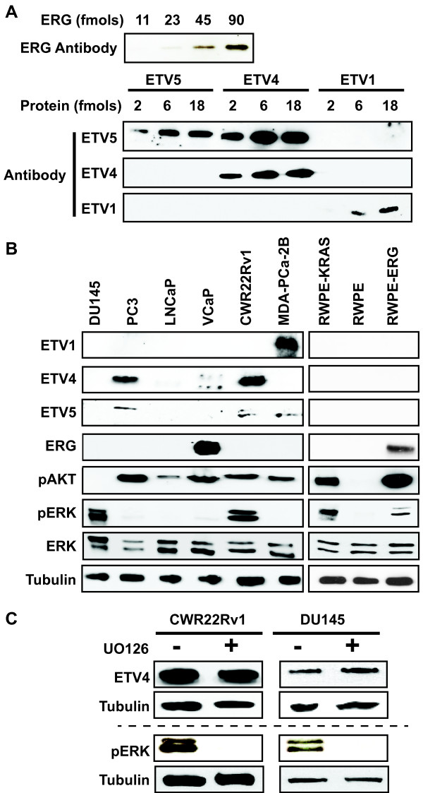 Prostate cell lines vary in oncogenic ETS expression and RAS/ERK pathway activation. (A) The sensitivity and specificity of antibodies detecting oncogenic ETS proteins were tested by immunoblot of the indicated amount of purified full-length proteins. (B) Immunoblots show levels of four oncogenic ETS proteins, pAKT (PI3K/AKT activation), pERK (RAS/ERK activation), total ERK, and tubulin control in six prostate cancer cell lines (left) and three cell lines derived from normal prostate (right). (C) Immunoblots show levels of ETV4 and pERK in the indicated cell lines with or without U0126 (10 μM, 10 hr). The same cell extracts are loaded on one gel above the dashed line, and a second gel below. ETV4 is only visible in DU145 cells after a very long exposure, hence it is not observed in (A) .