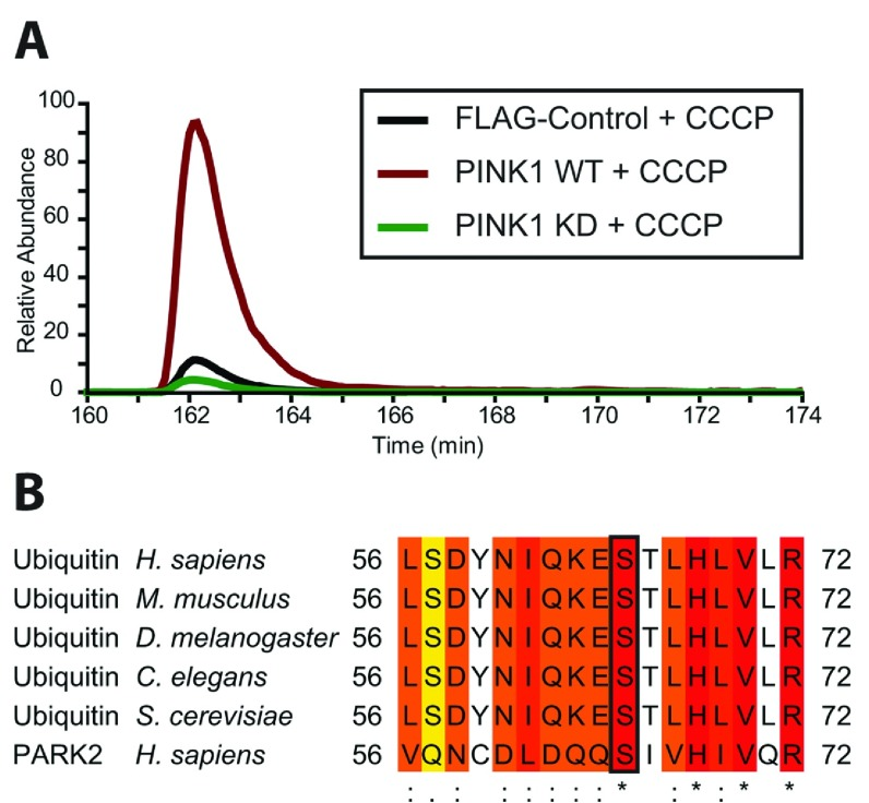 Identification of a highly conserved ubiquitin phospho-Ser 65 peptide upon PINK1 stimulation by CCCP in vivo New highly conserved ubiquitin phospho-Ser 65 peptide is up-regulated upon cell treatment with CCCP. Flp-In T-Rex HEK-293 cells stably expressing FLAG-empty, wild-type PINK1–FLAG or kinase-inactive PINK1–FLAG were grown in light, heavy and medium SILAC media respectively. Cells under each condition were stimulated with 10 μM CCCP for 3 h. Subsequently, membrane fractions were enriched by ultracentrifugation and solubilized in 1% RapiGest. Lysates from each of the three conditions were mixed at 1:1:1 and digested with trypsin before phosphopeptide enrichment by HILIC (hydrophilic-interaction LC) and TiO 2 , and analysis by MS. Data analysis was performed using MaxQuant. The experiment was performed using four replicates. ( A ) Representative extracted ion chromatograms representing the ubiquitin Ser 65 ) phosphopeptide TLSDYNIQKEpSTLHLVLR in the three SILAC-labelled conditions. ( B ) Sequence alignment of residues around Ser 65 in human Parkin and ubiquitin in a variety of organisms showing a high degree of conservation. C. elegans , Caenorhabditis elegans ; D. melanogaster , Drosophila melanogaster ; H. sapiens , Homo sapiens ; M. musculus , Mus musculus ; S. cerevisiae , Saccharomyces cerevisiae .