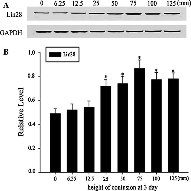 Dose-response effects' between the SCI and LIN28 expression. Spinal cord tissues from rats at various degrees of contusion induced by different heights (0, 6.25, 12.5, 25, 50, 75, 100, and 125 mm) at day 1 after SCI were homogenized and subjected to immunoblot analysis. Sample immunoblots probed with LIN28 and GAPDH are shown above ( a ). The bar chart below demonstrates the ratio of LIN28 to GAPDH for each height point ( b ). Data are mean ± SEM (n = 3; * p