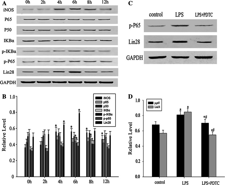 The expression and correlation of LIN28 and NF-κB signaling pathway during LPS induced astrocytes activation. Astrocytes were treated with LPS (1 μg/ml) for indicated times. INOS, p65, p50, IκBα, p-IκBα, p-p65, LIN28, and GAPDH expression was determined by Western blot analysis ( a ). Quantification of INOS, p65, p50, IκBα, p-IκBα, p-p65, and LIN28 protein levels. (n = 3, * p
