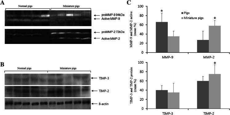 MMP activity and TIMP expression in the ovaries of normal and miniature pigs. Zymography analysis of the MMP activity in the ovaries ( a ). TIMP-2 and TIMP-3 protein expression by western blot ( b ). Bar graphs ( right ) show quantification of the detected bands by densitometry ( c ). Data are presented as the mean ± SEM of three independent experiments; values normalised to those of β-actin (a house-keeping gene)