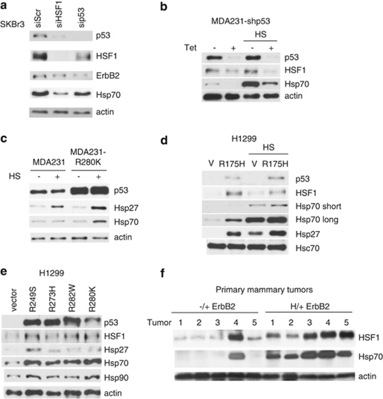 Mutant p53 upregulates HSF1 protein and augments the heat-shock response. ( a ) siRNA-mediated depletion of mutp53 in SKBr3 cells results in downregulation of HSF1 and its transcriptional target Hsp70. siHSF1 and scrambled siRNA as controls. ( a – c , e and f ) actin, loading control. ( b ) Tet-inducible p53 shRNA downregulates HSF1 and its target Hsp70 and is further enhanced by HS (43 °C, 1 h). Stable MDA231-shp53 cells. ( c ) Conversely, excess ectopic native mutp53 R280K in MDA231 cells further increases the HSF1 targets Hsp70/Hsp27 upon HS. ( d ) Ectopic mutp53R175H in p53 null H1299 cells upregulates HSF1 and its targets Hsp70/Hsp27, which is further enhanced by HS. Hsc70, loading control. ( e ) Upregulation of HSF1 and its targets in response to all tested p53 mutants. ( f ) Compared with littermate p53−/+ErbB2, primary mammary tumors from p53H/+ErbB2 mice show increased levels of HSF1 and Hsp70. Actin as a loading control
