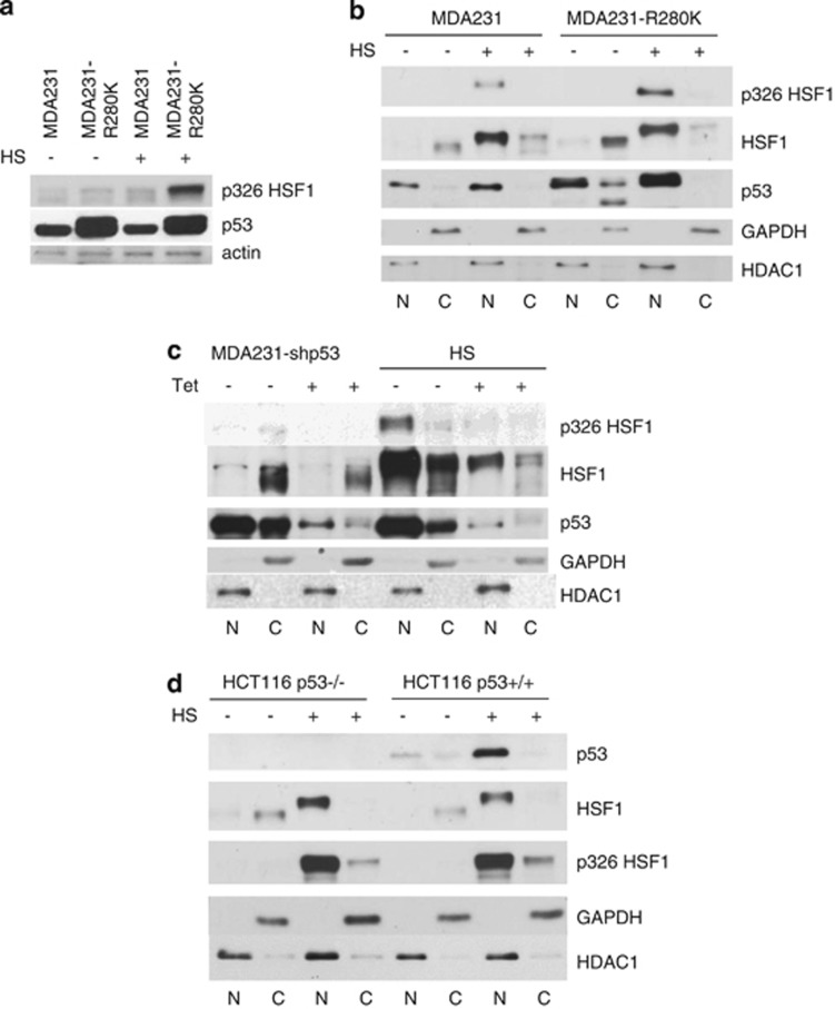 Mutant p53 promotes HSF1 activation via Ser326 phosphorylation. ( a ) Activated p-Ser326 HSF1 is greatly upregulated in MDA231R280K cells after HS (43 °C, 1 h). Actin is the loading control. ( b ) MDA231R280K cells induce higher levels of activated nuclear p-Ser326 HSF1 after HS than vector controls. Note that the slower migration of HS-activated HSF1 detectable in 6% SDS PAAG is due to phosphorylation. ( c ) Tet-inducible p53 shRNA decreases total HSF1 and activated p-Ser326 HSF1 in the nuclear fraction of MDA231 cells after HS (43 °C, 1 h) compared with vehicle-treated control cells. Note that the slower migration of HS-activated HSF1 detectable in 6% SDS PAAG is due to phosphorylation. ( d ) HSF1 is specifically upregulated by mutant but not wild-type p53. No increase in HSF1 levels or activation was seen in HCT116 p53−/− versus p53+/+ cells. The slower migration of total HSF1 detectable in 6% SDS PAAG upon HS is due to phosphorylation. ( b – d ) N – nuclear fraction, C – cytoplasmic fraction. GAPDH and HDAC1 as cytoplasmic and nuclear markers, respectively