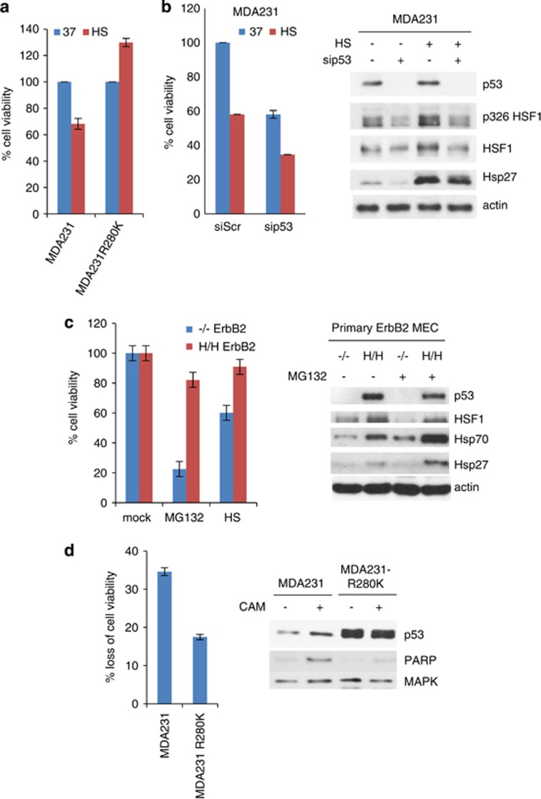 HSF1 activation by mutant p53 renders cells resistant to proteotoxic stress. ( a ) The elevated levels of mutp53 in MDA231R280K cells bestow increased thermotolerance compared with parental controls. Cells were grown at 37 °C or heat-shocked for 1 h at 43 °C. After 48 h, viability was measured using CTB assay. Two independent experiments were performed in triplicate. ( b ) Conversely, downregulation of mutp53 decreases thermotolerance. Scrambled or p53 siRNA was transfected into MDA231 cells. After 24-h post transfection, cells were heat-shocked for 1 h at 43 °C. Left, CTB assay after 48 h. Right, corresponding immunoblot. ( c ) Primary MECs from p53H/H;ErbB2 mice acquire higher tolerance to proteotoxic stress from HS (1 h, 43 °C) or proteasome inhibition (MG132, 1 μ M for 24 h) and exhibit higher levels of HSF1 and its targets Hsp70 and Hsp27, compared with p53−/−ErbB2 MECs. Two independent experiments were performed in triplicate. ( d ) The elevated levels of mutp53 in MDA231R280K cells promote their chemoresistance to genotoxic Camptothecin (50 nM, 48 h). Viability assay and PARP cleavage. MAPK, loading control. ( a – d ) Error bars represent mean±S.D.