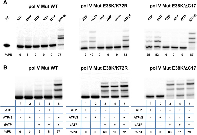 Pol V Mut is not activated by GTP, ADP, or dTTP and does not incorporate <t>ATP/ATPγS</t> in to DNA during synthesis. Pol V Mut WT, pol V Mut E38K/K72R, and pol V Mut E38K/ΔC17 were assembled according to the protocol in Figure 1A . ( A ) ATP, dATP, GTP, ADP, dTTP or ATPγS (500 μM) were used to activate pol V Mut for DNA synthesis and activity was checked in the presence of <t>dNTPs</t> (500 μM) and 3 nt oh HP (50 nM). ( B ) A HP containing TTT as its 3 nt oh was employed to determine if the various pol V Muts insert ATP or ATPγS during DNA synthesis. DNA extension is only observed in reactions where dATP is included. Other dNTPs are not present in any of the reactions. DOI: http://dx.doi.org/10.7554/eLife.02384.004