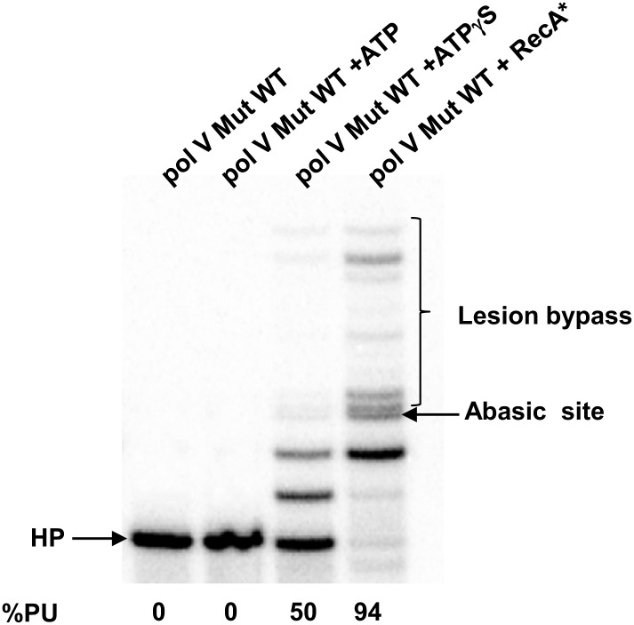 Pol V Mut WT activity on DNA containing an abasic site. Pol V Mut (400 nM) activity was detected on 5′- 32 P-labeled 12 nt oh HP (100 nM), containing an abasic site 3 nts upstream from the 3′-OH, in the presence or absence of ATP/ATPγS and dNTPs. Lesion bypass is only observed when ATPγS is present. DOI: http://dx.doi.org/10.7554/eLife.02384.005