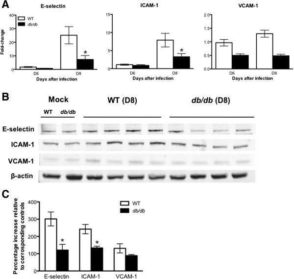 WNV-induced CAM expression in the brains of WT and db / db mice. (A) qRT-PCR was conducted on RNA extracted from mock- and WNV-infected brains from WT and db/db mice at indicated time points to determine the fold-change in E-selectin , ICAM-1 , and VCAM-1 gene expression. Changes in the levels of each gene were first normalized to the β-actin gene, and then the fold-change in WNV-infected brains was calculated in comparison to corresponding mock-infected brains. Data represents the mean ± SEM, representing two independent experiments (n = 7 per group). * P