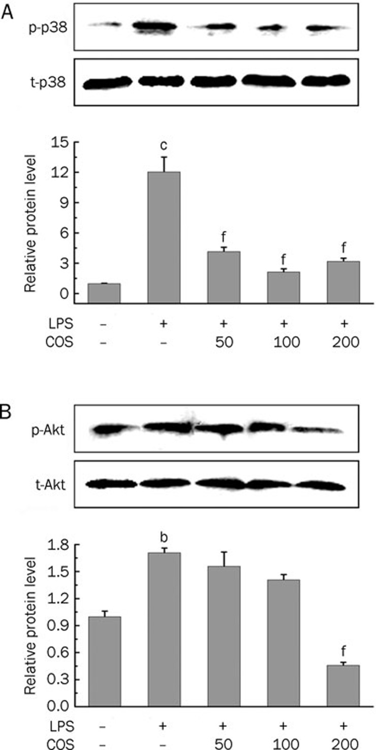 Inhibitory effect of COS on LPS-induced over-expression of phosphorylated p38 MAPK (A) and Akt (B) in HUVECs. Cells were pretreated with COS (50, 100, and 200 μg/mL) for 24 h and then exposed to LPS (100 ng/mL) for 10 min for p38 detection and for 1 h for Akt detection. After treatment, cell lysates were extracted and the protein levels of phosphorylated p38 (p-p38) MAPK, total p38 (t-p38) MAPK, phosphorylated Akt (p-Akt) and total Akt (t-Akt) were determined by Western blot analysis as described in Materials and methods. Data are representative of three experiments (mans±SD). b P