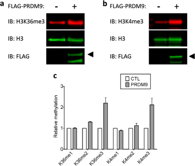 Trimethylation of H3K4 and H3K36 by PRDM9 in cells. Trimethylation of H3K36 ( a ) and H3K4 ( b ) in HEK293 cells transfected with control and PRDM9 plasmids was monitored by Western immunoblotting. c , blot quantifications indicate significant H3K4 and H3K36 trimethylation in samples from cells overexpressing PRDM9. Methylation levels of Lys-4 and Lys-36 were quantified and normalized to their respective total H3 levels. FLAG-PRDM9-transfected samples were normalized to samples transfected with FLAG Control vector. IB , immunoblot; CTL , control.
