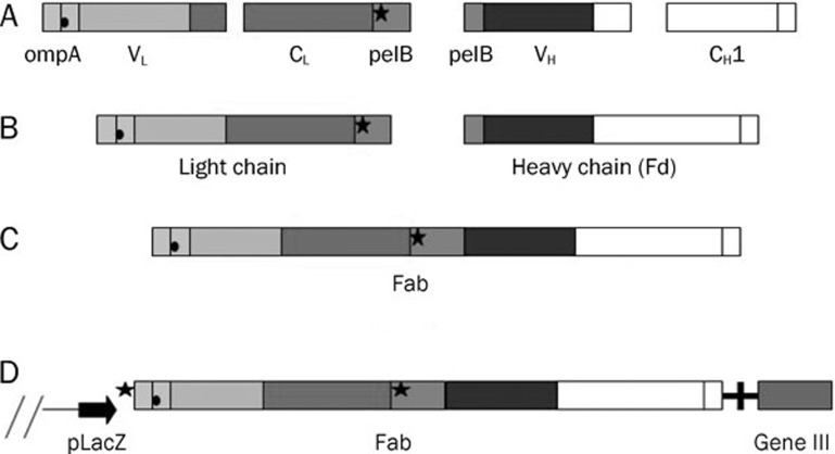 Construction of plasmid <t>pComb3XSS-Fab</t> for the production of Fab antibody fragments in E coli . Genes of light-chain and heavy-chain Fd fragments were f used by overlap-extension PCR, and cloned directionally by using two asymmetric sites of the rare cutter Sfi I. Fab was transcribed as a single transcript under the control of one LacZ promoter. The amber stop codon (cross) between the antibody genes and bacteriophage gene III enables the production of soluble Fab fragments in a non suppressor strain of E coli . (A) The genes for the variable and constant regions were amplified separately. (B) Heavy-chain Fd and light chain DNA were assembled by variable regions and their constant counterpart respectively by using overlap PCR. (C) Fd and light chain were fused to form Fab-encoding sequences by overlap PCR. Fab genes were directionally cloned into pComb3XSS phagemid by using the <t>Sfi</t> I site. (D) Both L chain fragment and Fd fragment were transported to the periplasm of E coli .