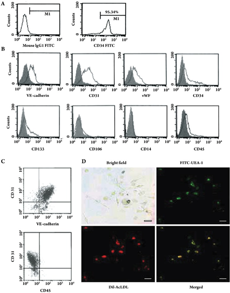 Identification of EPCs developed from cord blood CD34 + cells. The purification of CD34 + cells after immunomagnetic sorting (A). Representative results of flow cytometric analysis of cell markers on EPCs (B, C). Adherent cell Dil-AcLDL uptake and FITC-UEA-1 binding were determined by fluorescent microscopy. Double-positive cells, which appeared yellow in the overlay, were identified as differentiating EPCs (D). White bars: 10 μm.