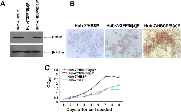 Effects of HBSP on the proliferation of B [alpha] P- treated Huh- 7 hepatoma cells. (A) HBSP expression in Huh-7/HBSP/B[alpha]P, Huh-7/GFP/B[alpha]P or Huh-7/HBSP. 30 μg of cellular proteins were subjected to 12% SDS-PAGE, transfered to a PVDF membrane, and probed with anti-mEH. β-actin served as a loading control. (B) Detection of BPDE-DNA in Huh-7/HBSP/B[alpha]P, Huh-7/GFP/B[alpha]P or Huh-7/HBSP cells. Cells on sterilized glass coverslips were detected for BPDE-DNA by immunocytochemistry assay. Images were taken at × 400 magnification. (C) Cell proliferation of Huh-7/HBSP/B[alpha]P, Huh-7/GFP/B[alpha]P, Huh-7/HBSP or Huh-7/GFP cells. Cells were seeded in 96-well plates at 2 × 10 3 /well, cell proliferation was determined daily in triplicate for 9 days by BrdU assay. The optical density (OD) was measured at 450 nm using a microplate reader. The analyses were repeated three times, and the results were expressed as mean ± SD.