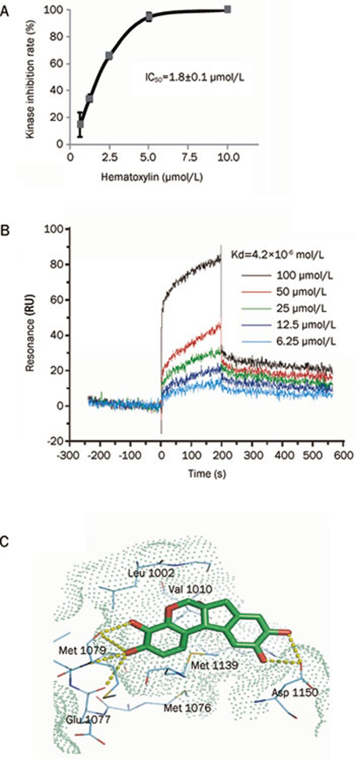Hematoxylin inhibits IGF1R activity in vitro and binds directly to IGF1R-CD. (A) Inhibitory activity of hematoxylin on IGF1R detected by ELISA assay. Tests were performed three times independently. (B) Hematoxylin binds to IGF1R-CD. SPR assay was performed as described in Materials and methods. (C) The binding mode of hematoxylin to the kinase domain of IGF1R predicted by molecular docking. The ligand (green carbon) and residues (cyan carbon) are represented as sticks and lines, respectively. The yellow dashed lines denote the hydrogen bonds and the oxygen atoms are colored in red. The molecular surface of the binding site was shown as green dots. The structure figure was prepared using PyMol (www.pymol.org). Data shown were mean±SD from three independent experiments.