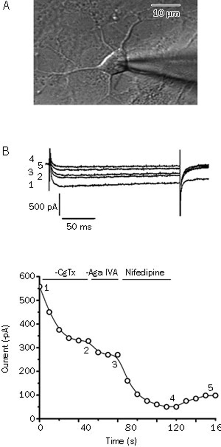 (A) Phase-contrast image showing a single patch recording from 7-d cultured hippocampal neurons for the recording of the VGCCs. Scale bar, 10 μm. (B) Pharmacological separation of the VGCC subtypes in hippocampal neurons. Upper panel, inward Ca 2+ channel Ba 2+ currents evoked by pulses from −60 mV to 0 mV at the times indicated in the lower panel. Lower panel, time course of effects of ω-conotoxin GVIA (1 μmol/L), ω-agatoxin IVA (30 nmol/L) and nifedipine (10 μmol/L) on the Ba 2+ current amplitude.