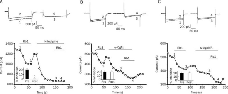 Rb1 inhibited the I Ba in hippocampal neurons, and this inhibitory effect was eliminated after the application of nifedipine (A). Neither <t>ω-conotoxin-GVIA</t> nor ω-agatoxin IVA diminished the Rb1-sensitive I Ba (B and C, respectively). Upper panel, pairs of the inward currents evoked by pulses from −60 to +0 mV (0–+20 mV) at the times indicated in the lower panel. Lower panel, time course of the effects of 10 μmol/L Rb1 on the I Ba amplitude before and after application of the Ca 2+ channel antagonists (10 μmol/L nifedipine, 1 μmol/L ω-conotoxin GVIA and 30 nmol/L ω-agatoxin IVA). The bar graphs for Rb1 inhibition (mean±SEM, n =5 for Rb1) on the I Ba in cells untreated or treated with Ca 2+ channel antagonists. c P