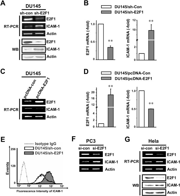 Expression of ICAM-1 is highly inversely correlated with E2F1 expression. A . ICAM-1 expression in DU145 cells. Whole cell lysates or total RNA were prepared from DU145 cells stably transfected with either the control vector or shRNA targeting E2F1. The expression of E2F1 and ICAM-1 was monitored by RT-PCR (upper) and Western blot (lower). B . ICAM-1 expression in DU145 cells was analyzed by real-time PCR. The stars indicate the significant differences ( P