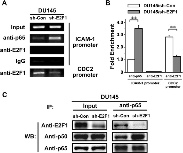 RNA Silencing of E2F1 increases p65/p50 heterdimer binding to ICAM-1 promoter. A . ChIP assay was performed with cell lysates from DU145/sh-Con and DU145/sh-E2F1 cells. The chromatin was immunoprecipitated with anti-E2F1 and anti-p65 antibodies or normal IgG which served as a negative control. A pair of primers flanking the κB-1 binding site within the ICAM-1 promoter was used in PCR. PCR for the E2F1 binding site within the CDC2 promoter served as a positive control for detecting E2F1 binding activity. B . Real-time PCR was employed to the ChIP assay in (A). Relative occupancy values were calculated by determining the apparent immunoprecipitation efficiency (ratios of the amount of immunoprecipitated DNA to that of the input sample) and normalized to the level of p65 binding with ICAM-1 promoter in DU145/sh-Con cells, which was defined as 1.0. C . The relationship among E2F1 and p65/p50 heterodimer in DU145/sh-Con and DU145/sh-E2F1 cells was examined by coimmunoprecipitation analysis. Anti-p65 antibody was used for immunoprecipitation. The amounts of E2F1, p65 and p50 in the immunoprecipitates were detected by Western blot with the indicated specific antibodies.