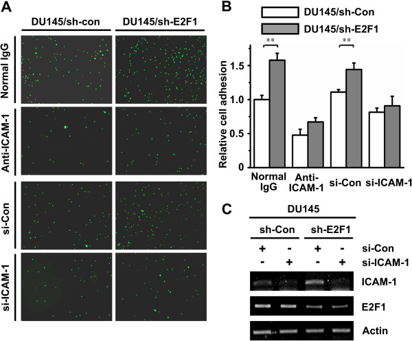 E2F1 knockdown enhances cell adhesion through ICAM-1. A . DU145/sh-Con and DU145/sh-E2F1 cells were pre-incubated with anti-ICAM-1 antibody or transient transfected with duplex siRNA of ICAM-1. PBMC labeled with Calcein-AM were added to the indicated cells. After washing three times, attached PBMC were captured using a fluorescence microscope at nine randomly selected fields of each well. B . The number of attached PBMC in the (A) was presented by the bar graph (white bar, DU145/sh-Con; gray bar, DU145/sh-E2F1). The data are shown as the mean value ± SD of triplicate measurement. The stars indicate the significant differences ( P