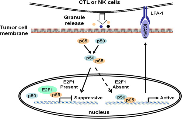 A schematic model whereby E2F1 regulates the ICAM-1 mediated anti-tumor immune circuit through NF-κB modulation. NF-κB binding site is required for E2F1 regulation of ICAM-1. E2F1 interacts with NF-κB forming an NF-κB/E2F1 complex. E2F1 acts as a suppressor to prevent the NF-κB p65/p50 complex from binding to ICAM-1 promoter. As a consequence, E2F1 interferes with the adhesion of monocytes onto prostate cancer cells, the sensitivity of tumor cells to the cytotoxic effect of cytokine-induced killer cells and the growth of prostate cancer cells. Targeted knockdown of E2F1 does not affect the expression of phosphorylation of NF-κB p65 and IκBα, but releases NF-κB p65 to facilitate p65/p50 heterodimerization and binding to the ICAM-1 promoter. Subsequently, ICAM-1 transcription and production are induced, resulting in the enhanced immune cells mediated cytotoxicity against prostate carcinoma cells.