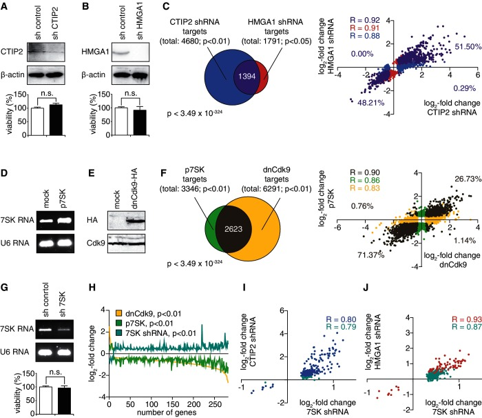 HMGA1 and CTIP2 repress the expression of 7SK-dependent P-TEFb target genes. ( A ) shRNA-mediated knock-down of CTIP2 in microglial cells. CTIP2 levels were monitored in western blot analyses and β-actin was used as a control (upper panel). Cell viability on shRNA-mediated knock-down was measured by MTT test (lower panel). n.s., not statistically significant in a students t -test. ( B ) shRNA-mediated knock-down of HMGA1 in microglial cells. HMGA1 amounts were quantified by western blot analyses, and β-actin was used as a housekeeping gene (upper panel). Cell viability was measured as in (A) (lower panel). ( C ) Venn diagram (left panel) and scatter plot (right panel) of the CTIP2-target genes ( , blue), the HMGA1-target genes ( , red) and the common subset (purple). The gene numbers of each set, the hypergeometric distribution P -value as well as the Pearson correlation coefficients for all three subsets and the fractions located in each quadrant of the scatter plot are indicated. ( D ) Overexpression of 7SK RNA in microglial cells. RNA amounts were monitored by ethidium bromide staining on agarose gel electrophoresis, and U6 RNA was used as a control. ( E ) Overexpression of a HA-tagged, dominant negative (dn) version of Cdk9 in microglial cells. dnCdk9 expression was monitored in western blot analyses using anti-HA and anti-Cdk9 antibodies. ( F ) as in (C), but for the target genes of dnCdk9 (yellow) and 7SK RNA overexpression (green). ( G ) shRNA-mediated knock-down of 7SK RNA in microglial cells. RNA amounts were monitored as in (D). Cell viability was measured as in (A). ( H ) Identification of 7SK-dependent P-TEFb targets as genes, whose expression is concomitantly regulated on dnCdk9 expression (yellow), 7SK RNA overexpression (green) and 7SK RNA knock-down (turquoise). The number of genes is plotted on the x-axis and the log 2 -fold change in each condition is plotted on the y-axis. Genes are plotted in descending order based on their expression changes on 