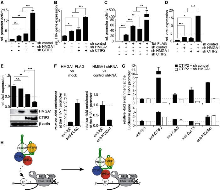 HMGA1 and CTIP2 cooperatively repress HIV-1 gene expression by a HMGA1-mediated recruitment of CTIP2-inactivated P-TEFb to the HIV promoter. ( A ) HIV-1 LTR-driven reporter assays in microglial cells on CTIP2 and/or HMGA1 knock-down. The magnitude of an additive effect of CTIP2 and HMGA1 knock-down is indicated as a dotted line. * , ** , *** in a Student's t-test. ( B ) Transcription assays in HIV-latently infected CHME-5 cells on CTIP2 and/or HMGA1 knock-down. HIV gene expression was quantified by qRT-PCR and normalized to β-actin expression as a housekeeping gene. HIV gene expression on expression of a non-targeting control shRNA was arbitrarily set to 1. * , *** in a Student's t-test. ( C ) As in (A), but in microglial cells expressing HIV-1 Tat-FLAG. ( D ) As in (A), but using the pNL4.3 delta ENV-luciferase proviral plasmid as reporter construct. ( E ) As in (D), but in microglial cells overexpressing CTIP2-FLAG and/or HMGA1-FLAG. Protein overexpression was verified in western blot experiments using anti-FLAG antibody. β-actin was used as a housekeeping gene. ( F ) ChIP analyses targeting the HIV-1 promoter from HEK293 cells on expression of HMGA1-FLAG (left panel) or knock-down of endogenous HMGA1 (right panel). ( G ) ChIP analyses targeting the HIV-1 promoter from HEK293 cells transfected with CTIP2-FLAG in the presence or absence of a HMGA1 knock-down (upper panel). The luciferase gene was used as a control (lower panel). ( H ) Model: The CTIP2-repressed 7SK/P-TEFb snRNP is recruited to cellular and viral promoters by the interaction of 7SK L2-bound HMGA1 with core promoter-bound basal transcription factors (TF, e.g. NF-κB or Sp1) or DNA.