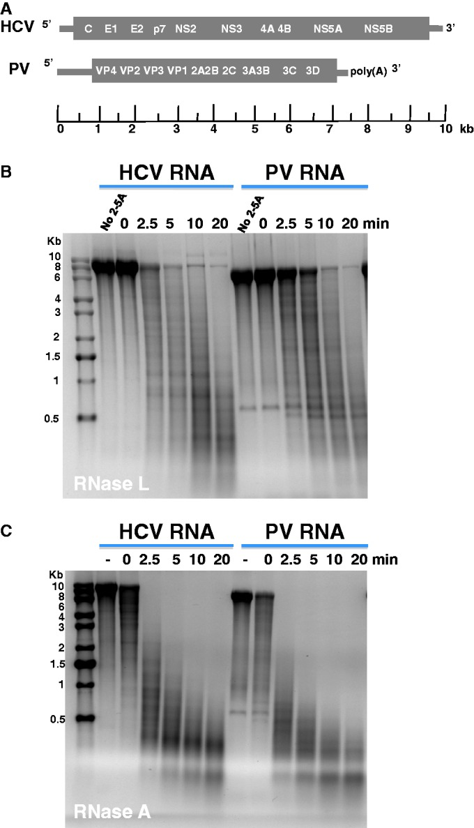 Viral RNA fragments produced by <t>RNase</t> L and RNase A. HCV and PV RNAs were incubated with RNase L and RNase A to produce RNA fragments for 2′, 3′-cyclic phosphate <t>cDNA</t> synthesis and sequencing. Agarose gel electrophoresis and ethidium bromide staining revealed the size of viral RNA fragments. ( A ) Diagram of HCV and PV RNAs. HCV RNA is 9648 bases long. PV RNA is 7500 bases long. ( B ) Viral RNAs incubated with RNase L. HCV and PV RNAs were incubated with RNase L for 20 min in the absence of 2-5A (no 2-5A), or with RNase L and 2-5A for 0, 2.5, 5, 10 and 20 min. ( C ) Viral RNAs incubated with RNase A. HCV and PV RNAs were incubated for 20 min in the absence of RNase A (−), and the presence of RNase A for 0, 2.5, 5, 10 and 20 min.