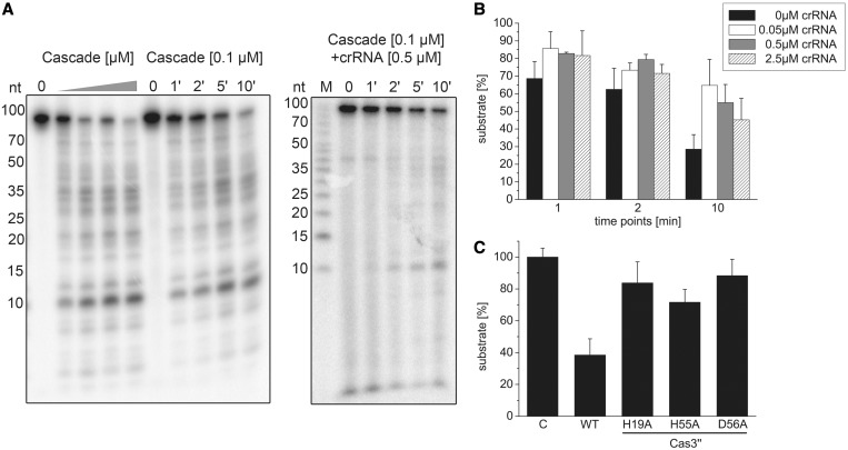 Type I-A Cascade cleaves ssDNA unspecifically and is inhibited by crRNA. ( A ) Cascade (0, 0.05, 0.125, 0.25, 0.5 µM) was incubated with a 5′-[γ- 32 P]-ATP labeled ssDNA fragment (int_5.2 CCT for) in the presence of Mg 2+ and Mn 2+ ions and the nucleolytic cleavage reaction was resolved on 15% denaturing gels. After 1–10-min incubation at a fixed Cascade concentration of 0.1 µM, > 70% of the substrate is cleaved. In the presence of 0.5 µM unlabeled crRNA, the reaction is inhibited. ( B ) This observation was tested in the presence of 0, 0.05, 0.5 and 2.5 µM crRNA, and the amount of remaining substrate estimated via line profile plots (Image J) was plotted for three different reaction times (1, 2, 10 min) and reactions performed in triplicate. ( C ) Cas3′′ subunit with HD domain mutations (H19A, H55A, D56A) was assembled into Cascade and then tested in ssDNA cleavage assays.