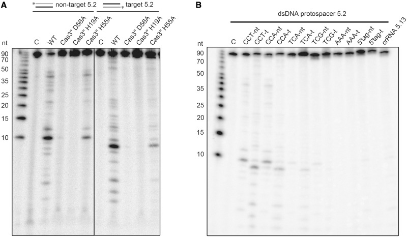 Analysis of Cas3′′ mutants and PAM recognition for in vitro assembled type I-A Cascade. ( A ) The Cas3′′-constructed mutants (H19A, H55A, D56A) were assembled into Cascade and tested for dsDNA cleavage. ( B ) The dsDNA substrate 5.2 was mutated to include the indicated 3-bp long PAM sequences (CCT to CCA, TCA, TCG, AAA or a PAM identical to the crRNA 8-nt tag). Cascade-mediated interference reactions were performed with either 5′-[γ- 32 <t>P]-ATP</t> labeled non-target (forward) or the crRNA target strand (reverse) as a substrate, while Cascade was loaded with the spacer matching crRNA 5.2. The loaded non-matching crRNA 5.13 served as a negative control.