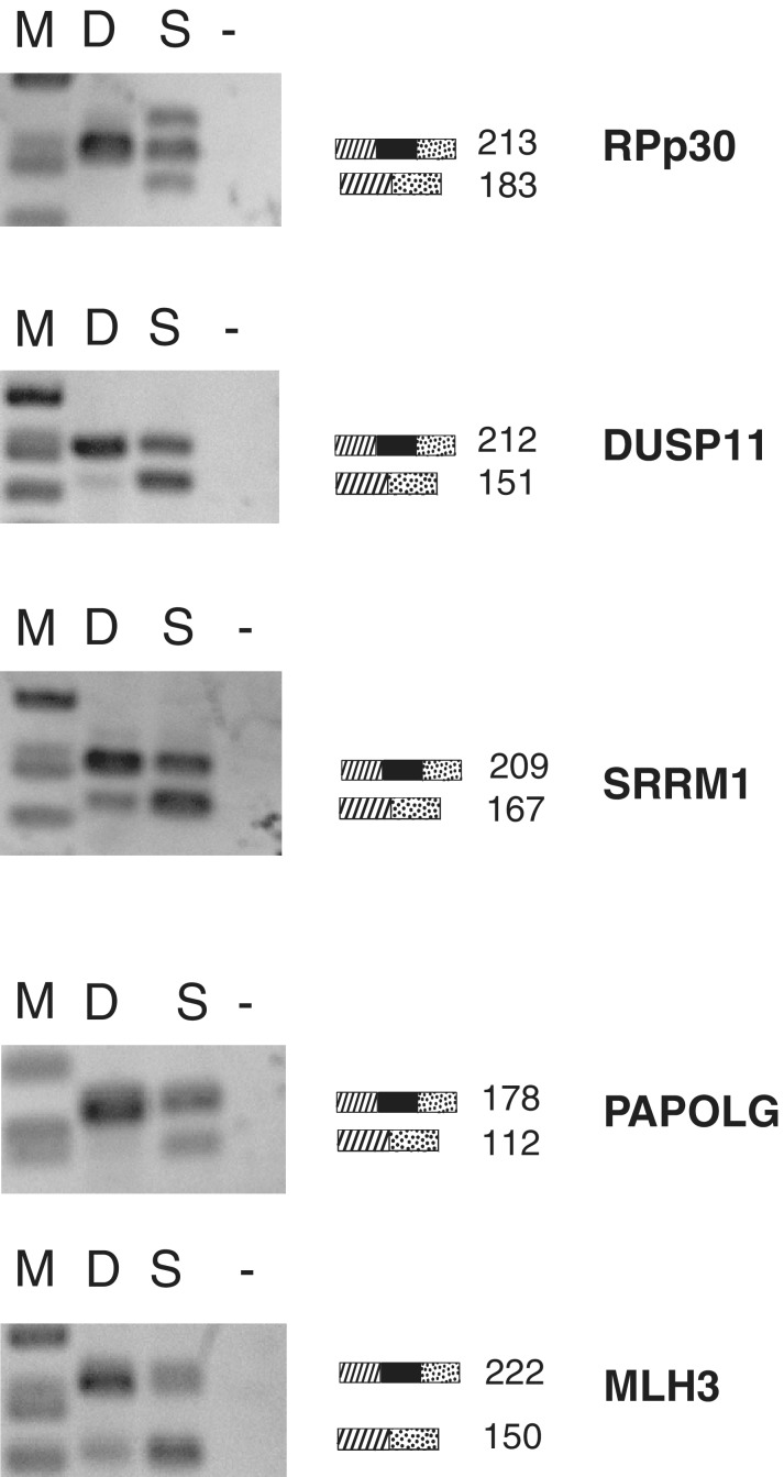 Changes in alternative splicing after a short incubation with sudemycin E. <t>Rh18</t> cells were incubated with 1 µM sudemycin E for 30 min. The drug was removed by medium change and cellular <t>RNA</t> was analyzed after 6 h by RT-PCR. D: DMSO control, S: sudemycin E.