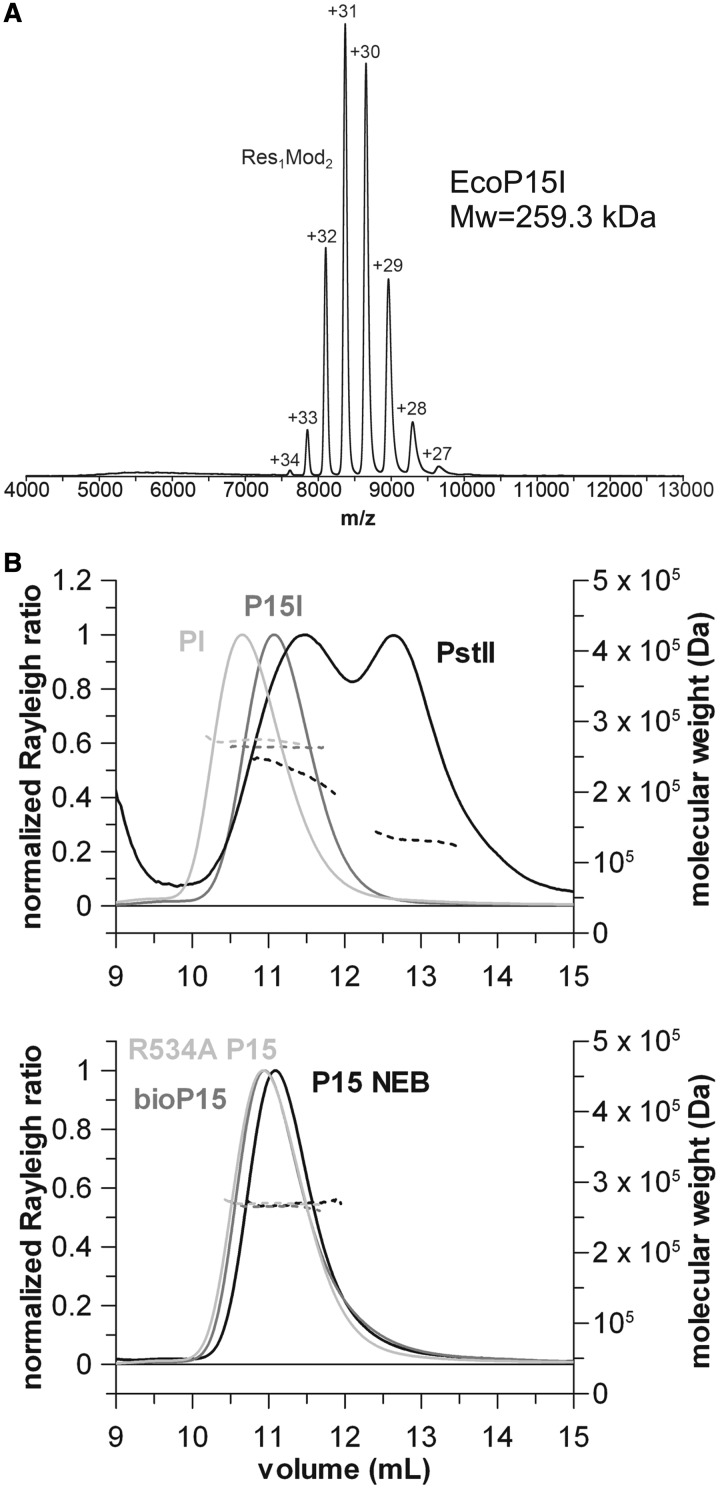 "Evidence for the heterotrimeric stoichiometry of Type III REs. ( A ) Native mass spectrum of wt EcoP15I. The Y-axis is relative intensity, scaled to the most intense peak in the spectrum, which is the 31+ charge state of the enzyme complex. The numbers above the peaks are the measured charge states for the given molecular species. The observed molecular weight (259.3 kDa) corresponds closely to that expected of the Res 1 Mod 2 heterotrimer (259145 Da, Table 1 ). ( B ) SEC-MALS traces of various Type III REs. All enzymes yielded a single elution peak with a molecular weight supporting the Res 1 Mod 2 subunit stoichiometry, except for PstII, which eluted as a double peak indicating a mixture of Mod 2 and Res 1 Mod 2 species. Solid lines represent the normalized light scattering (left Y-axis), whereas dotted lines show the calculated molecular masses (right Y-axis). Traces are shown in two separate graphs for clarity, noting that the wt EcoP15I and EcoP15I obtained from NEB had the same elution volume. See ""Evidence for a Res1Mod2 stoichiometry for Type III REs"" in the Results section and Table 3 for further details."