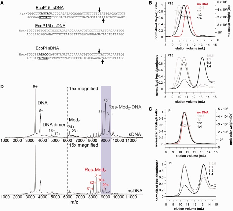 The heterotrimer Type III REs bind a single DNA with a specific site despite the presence of two target recognition domains. ( A ) Sequence of the specific (sDNA) and non-specific ns(DNA) 50-mer DNA duplexes. The 5′-CAGCAG-3′ and 5′-AGACC-3′ recognition sites for EcoP15I and EcoPI, respectively, are highlighted with bold and underlined fonts. The cleavage positions (25 and 27 bases downstream of the recognition site in the top and bottom strand, respectively) are marked with arrows. ( B and C ) SEC-MALS traces of a constant amount of EcoP15I (B) or EcoPI (C) with sub-stoichiometric amounts to saturating excess of the relevant specific 50-mer DNA duplex (ratios are enzyme:DNA). In the upper graphs, solid lines represent the normalized light scattering (left Y-axis), whereas dotted lines show the calculated molecular masses (right Y-axis). In the lower graphs, lines show the hexachlorofluorescein (Hex) absorbance traces of the same SEC-MALS runs to confirm the presence of DNA in the eluted complexes. ( D ) Native mass spectra of wt EcoP15I pre-incubated with a 2-fold excess of specific (top panel) and non-specific (bottom panel) 50-mer duplex DNA. The Y-axis is relative intensity, scaled to the most intense peak in the spectrum, which is the 9+ charge state of the free DNA. Peaks on the left hand side of the dotted vertical line correspond to free excess DNA, whereas peaks on the right hand side can be identified as Res 1 Mod 2 heterotrimers in complex with a single copy of specific DNA or free Res 1 Mod 2 holoenzyme in the case of non-specific DNA. As the protein ionizes much less efficiently than the DNA, the protein and protein–DNA peaks have been magnified ×15 relative to the DNA-alone peaks for presentation purposes.