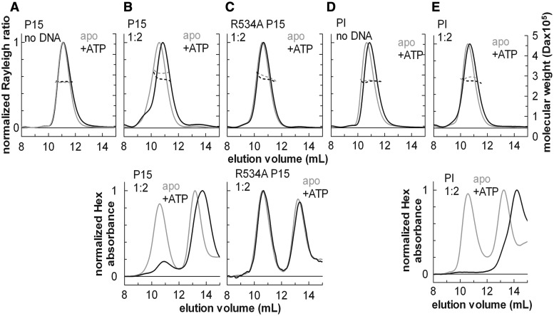 """SEC-MALS analysis of the effect of ATP on the protein stoichiometry and DNA binding. SEC-MALS traces of wt EcoP15I (P15), EcoP15I helicase mutant (R534A P15I) or wt EcoPI (PI), with (black lines) or without ATP (grey lines), in the absence (apo) or presence of a 2-fold excess of specific 50-mer DNA duplex (1:2). In the upper graphs, solid lines represent the normalized light scattering (left Y-axes), whereas dotted lines show the calculated molecular masses (right Y-axes). In the lower graphs, lines show the hexachlorofluorescein (Hex) absorbance traces of the same SEC-MALS runs to confirm the presence of DNA in the eluted complexes, where included. The SEC-MALS profiles are not affected significantly by ATP in the absence of specific DNA ( A , D ). A significant shift in the elution volume and/or a reduction of the calculated mass is indicative of a conformational change and dissociation from the specific DNA ( B , E ). The elution volume of the R534A mutant does not change in the presence of ATP and specific DNA ( C ). Note that for the wt enzymes, the elution volume of the free DNA is significantly increased in the presence of ATP ( B , E ), suggesting that the DNA is cleaved by the enzymes (see """"ATP hydrolysis releases the Type III holoenzyme from DNA without affecting its stoichiometry"""" in the Results section and Supplementary Figure S4 )."""