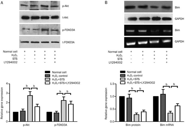 In vitro effect of STS on phospho-Akt, phospho-FOXO3A and Bim expression of neonatal rat cardiac cells induced by H 2 O 2 . (A) A representative Western blotting photograph showing the effect of STS on the levels of p-Akt, total-Akt, p-FOXO3A, and total-FOXO3A from each group. The quantitative estimation of phospho-Akt and phospho-FOXO3A levels was shown as the relative OD values in STS and STS+LY294002 groups compared with the normal and H 2 O 2 -induced control group. (B) The expression levels of Bim mRNA and protein were analyzed using a semi-quantitative RT-PCR and Western blotting, respectively. GAPDH served as an internal control. The quantitative estimation of Bim mRNA and protein levels in the histogram are shown as the relative Bim mRNA and protein ratios in the STS and STS+LY294002 groups compared to the normal and H 2 O 2 -induced control group.
