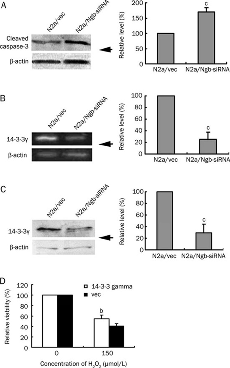 Silencing of <t>Ngb</t> induces caspase-3 activation and inhibits <t>14-3-3γ</t> expression. (A) A Western blot analysis demonstrates that cleaved caspase-3 increased significantly in N2a/Ngb-siRNA cells. (B) RT-PCR demonstrates that the expression level of 14-3-3γ mRNA decreased significantly in N2a/Ngb-siRNA cells. (C) Western blot analysis demonstrates that the expression of 14-3-3γ protein decreased significantly in N2a/Ngb-siRNA cells. (D) A WST-8 assay demonstrates that overexpression of 14-3-3γ significantly enhanced the viability of N2a/Ngb-siRNA cells following treatment with 150 μmol/L of H 2 O 2 for 12 h compared with vector controls (p-EGFP-N1). All statistical results are expressed as means±SEM from three independent experiments. b P