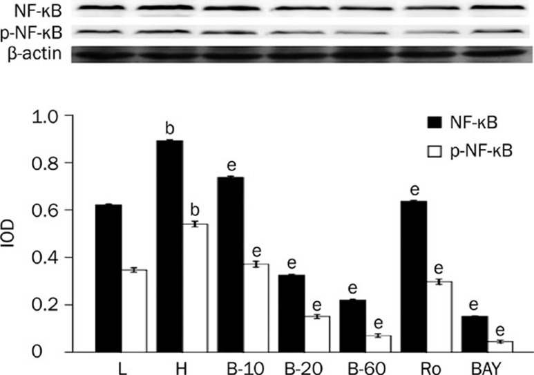 Breviscapine decreased the expression of NF-κB in high glucose cultured cardiomyocytes. Cardiomyocytes cultured in high glucose levels showed higher expression and increased activity of NF-κB compared with control group. After adding PKC inhibitor Ro-31-8220 (50 nmol/L), NF-κB inhibitor BAY11-7082 (5 μmol/L) and breviscapine (10, 20, and 60 mmol/L), the expression and activity of NF-κB decreased as shown in Figure 3 . The results were expressed as means±SEM. n =4 or 5. b P