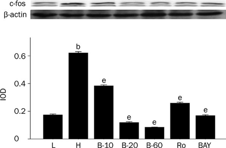 Breviscapine decreased the expression of c-fos in high glucose cultured cardiomyocytes. Cardiomyocytes cultured in high glucose levels showed higher expression of c-fos compared with control group. After adding PKC inhibitor Ro-31-8220 (50 nmol/L), NF-κB inhibitor BAY11-7082 (5 μmol/L) and breviscapine (10, 20, and 60 mmol/L), the expression of c-fos decreased as shown in Figure 5 . The results were expressed as means±SEM. n =4 or 5. b P