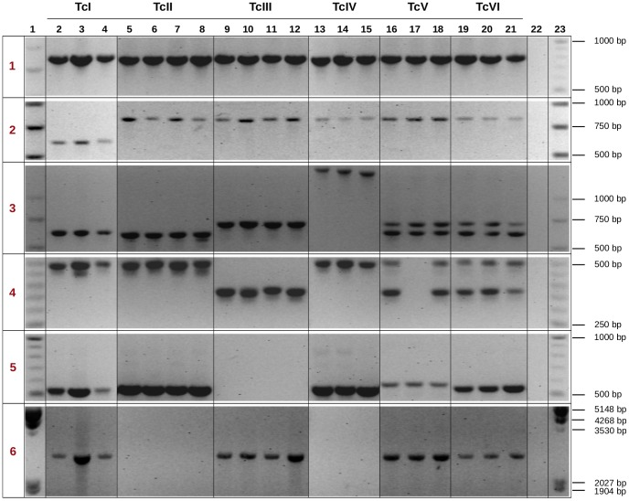 PCR amplification of selected IGR regions in different strains of T. cruzi . Selected genomic regions were amplified to validate length and sequence polymorphisms, and resolved in a 2% TBE-agarose gel. Lanes in the gels correspond to: molecular size markers (lanes 1, 23), DNA from T. cruzi strains (lanes 2–21), and negative control (lane 22). Strains used (and the corresponding lanes) are: 92122102R (2); Dog Theis (3); CanIII (4); TU18 (5); Mas1 cl1 (6); IVV cl4 (7); Y9 IIB (8); X109-02 (9); M5631 cl5 (10); M6241 cl6 (11); LL051 (12); Mn cl2 (13); Sc43 cl9 (14); TEH53 (15); Tula cl2 (16); CL Brener (17); P63 cl1 (18); Sylvio X10/1 (19); Palv2 (20); Dm28c (21). Numbers in the leftmost column (1–6) correspond to the six selected cases mentioned in the text. All samples were analyzed in the same electrophoresis run, however for clarity purposes, groups of lanes were digitally re-ordered.