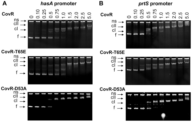 <t>CovR-D53A</t> and CovR-T65E bind CovR-regulated promoters with similar affinity to unphosphorylated CovR. Binding of recombinant CovR, CovR-D53A, and CovR-T65E proteins to the promoters of ( A ) hasA and (B) prtS . Increasing concentrations of unphosphorylated CovR, CovR-D53A, and CovR-T65E (monomer concentration given in µM) were used as indicated. Samples were incubated for 15 min at 37°C and electrophoresed on a 6% <t>TBE</t> polyacrylamide gel for 60 min at 120 V. The gels were stained with ethidium bromide. ns, non-specific DNA, f, free DNA, cI, lower molecular weight complex, cII, higher molecular weight complex. Gels shown are representatives of identical results obtained on two separate occasions.