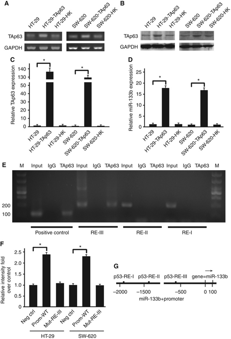 TAp63 modulates the expression of miR-133b. HT-29 and SW-620 cells were transfected with either an empty vector or with TAp63 for 72 h. ( A ) Endogenous TAp63 levels were assessed by <t>RT–PCR.</t> ( B ) The expression level of TAp63 is shown in the western blotting. ( C ). Endogenous TAp63 levels were again confirmed by <t>qRT–PCR.</t> As the figure shows, HT-29 and SW-620 cells transfected with TAp63 expressing vector induced a significant increase in TAp63 expression. ( D ) Endogenous miR-133b levels were assessed by qRT–PCR. After transfection with a TAp63-expressing vector, HT-29 and SW-620 cells showed a significant increase in miR-133b expression. ( E ) Chromatin immunoprecipitation (ChIP) experiment showed that p63 is able to bind the p53 RE-III site but not p53 RE-I and p53 RE-II. ( F ) Insertion of miR-133b promoter region in a luciferase reporter gene leads to increased luciferase activity in the presence of TAp63 in HT-29 and SW-620 cells. Mutation of the RE-III p53-binding site abolished TAp63-mediated luciferase activity. ( G ) The miR-133b promoter region containing the three p53 consensus sites (p53RE). All qRT–PCR results were relative to U6-snRNA or GAPDH and were normalised to the expression of miR-133b or TAp63 in HT-29 cells. Data represent the means±s.d. of three different experiments analysed in triplicate. * P