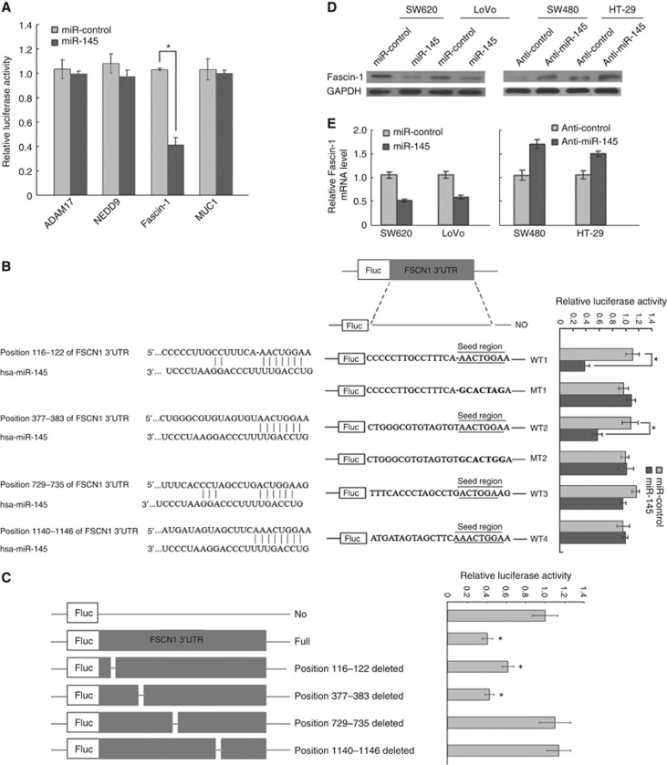 Detection of target genes regulated by miR-145 in CRC cell lines. ( A ) Luciferase activity after transfection with the four wild-type 3′-UTR constructs, miR-145, or miR-control. ( B ) miR-145-binding sites in the 3′-UTR region of <t>Fascin-1;luciferase</t> activity after transfection with mutant 3′-UTR constructs in Fascin-1. The no-insert control (NO), wild-type (WT), and mutated-type (MT) constructs are highlighted with the seed region underlined, and base substitutions are highlighted as bold text. ( C ) Luciferase assays using the mutated vectors in which the specific sites targeted by the miR-145 were deleted. MiR-145 expression levels affect Fascin-1 protein ( D ); and mRNA expression ( E ), in CRC cell lines. Error bars (s.d.) were calcu lated from triplicate samples. * P