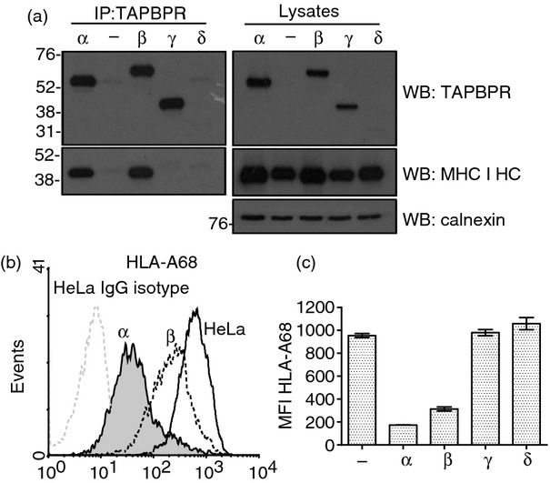 Association of the TAPBPR isoforms with MHC class I. (a) TAPBPR was isolated by immunoprecipitation (using polyclonal antiserum R039) from the panel of HeLa cells stably transduced with the TAPBPR isoforms lysed in 1% Triton X-100 Tris-buffered saline. As a negative control non-transfected HeLa cells were included (−). Western blot analysis was performed for TAPBPR using mouse anti-TAPBPR, the MHC class I heavy chain using HC10 or calnexin on TAPBPR immunoprecipitated or lysates as indicated. (b) Cytofluorometric analysis for surface HLA-A68 expression from HeLa cell (black line histogram) and HeLa transduced with TAPBPR α (grey-filled histogram) or TAPBPR β (black dotted line). Staining of non-transduced HeLa with an isotype control is included as a negative control (grey-dotted histogram). (c) Bar graph of mean fluorescence intensity (MFI) of surface HLA-A68 on the full panel of cells expression the TAPBPR isoforms from two independent experiments (Error bars: ± SEM).