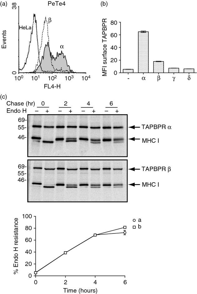 Altered trafficking of TAPBPR β . (a) Cytofluorometric analysis for surface TAPBPR expression on HeLa cells (black line histogram) and HeLa transduced with TAPBPR α (grey-filled histogram) or TAPBPR β (black dotted line). Staining of non-transduced HeLa cells with an isotype control is included as a negative control (grey-dotted histogram). (b) Bar graph of mean fluorescence intensity (MFI) of surface TAPBPR on the full panel of cells expression the TAPBPR isoforms from two independent experiments (Error bars: ± SEM). (c) The anterograde transport rate of TAPBPR β was compared with TAPBPR α expressed in HeLa cells using pulse–chase analysis. HeLa cells expressing TAPBPR α and TAPBPR β were labelled with [ 35 S]methionine/cysteine for 30 min and chased for 0–6 hr as indicated. Following lysis in 1% digitonin Tris-buffered saline, TAPBPR was isolated from pre-cleared post-nuclear supernatants by immunoprecipitation using the mouse monoclonal antibody PeTe4. Following elution and denaturation the samples were treated with or without endoglycosidase H (Endo H). The signal intensity of the MHC class I heavy chain band was determined by densitometry and the amount of Endo-H-resistant MHC class I associated with TAPBPR at each time-point was plotted as a percentage of the Endo-H-resistant MHC class I associated with TAPBPR at the 0 time-point.