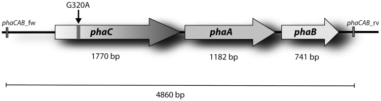 Schematic presentation of the phaCAB operon of R. eutropha PHB - 4. Primers phaCAB_fw and phaCAB_rv were applied to generate the 4,860-bp DNA fragment comprising the phaCAB operon. The PCR fragment was subcloned into vector pJET1.2/blunt, and subsequently fragments of three independent hybrid plasmids were sequenced. The arrow marks the observed G320A mutation in phaC causing a stop codon obviously leading to a truncated and non functional PHA synthase (PhaC) in strain PHB - 4.